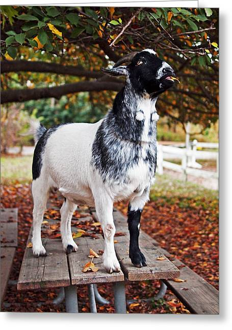 Fence Photographs Greeting Cards - Lunch with Goat Greeting Card by Rona Black
