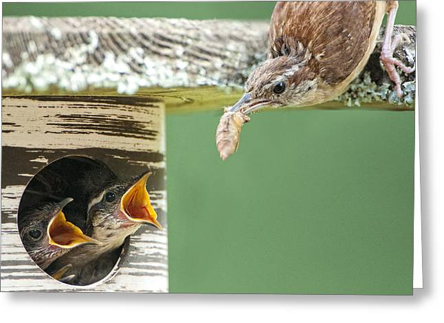 Carolina Wren Greeting Cards - Lunchtime at the Wren Household Greeting Card by Bonnie Barry