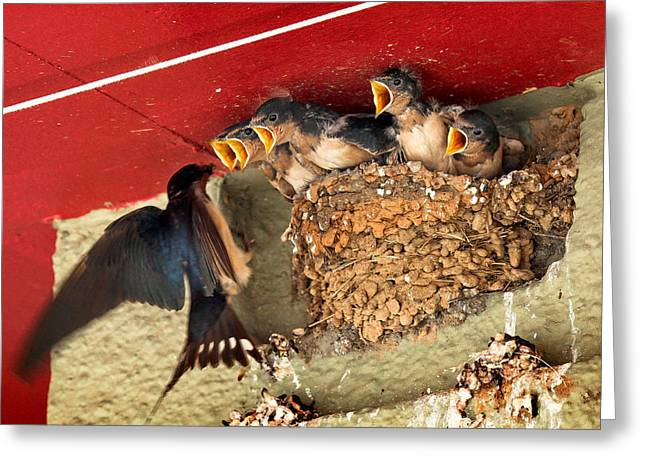 Swallow Nestlings Greeting Cards - Lunchtime Greeting Card by Jim Painter