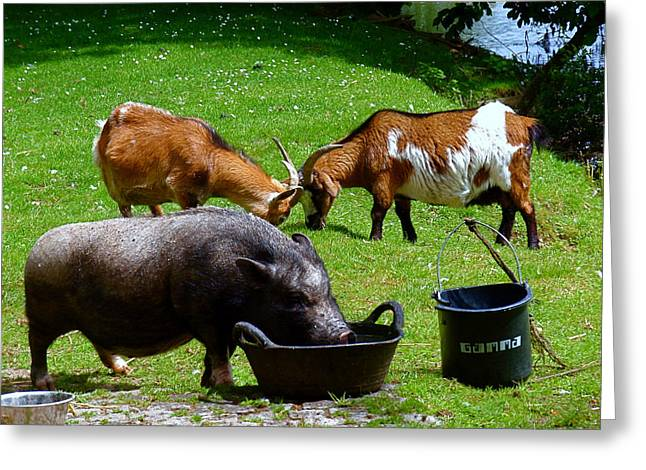 Goat Photographs Greeting Cards - Lunchtime Greeting Card by Rona Black