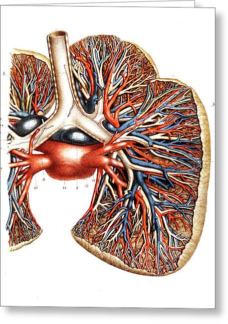 Lung Blood Supply Greeting Card by Collection Abecasis