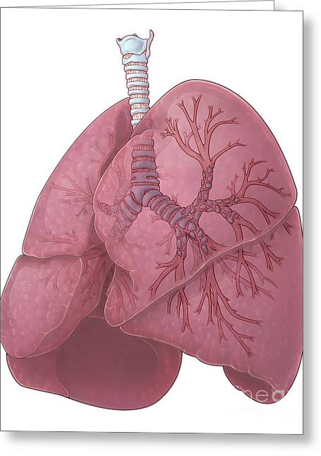 Bronchi Greeting Cards - Lungs And Bronchi Greeting Card by Evan Oto