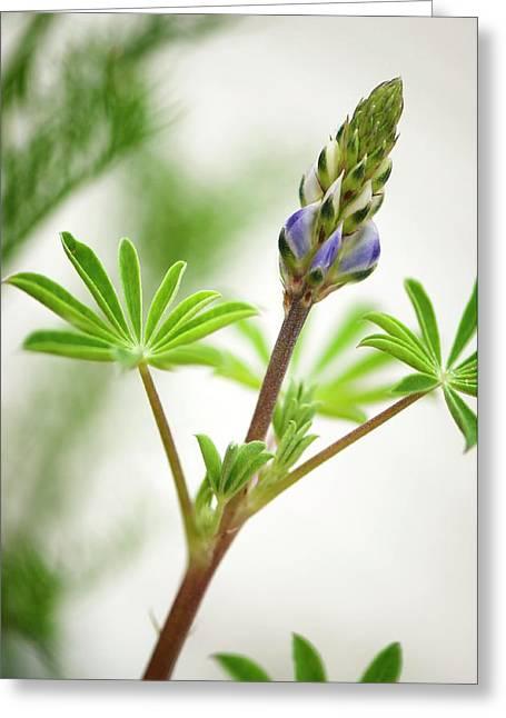 Lupin (lupinus Succulentus) Greeting Card by Maria Mosolova