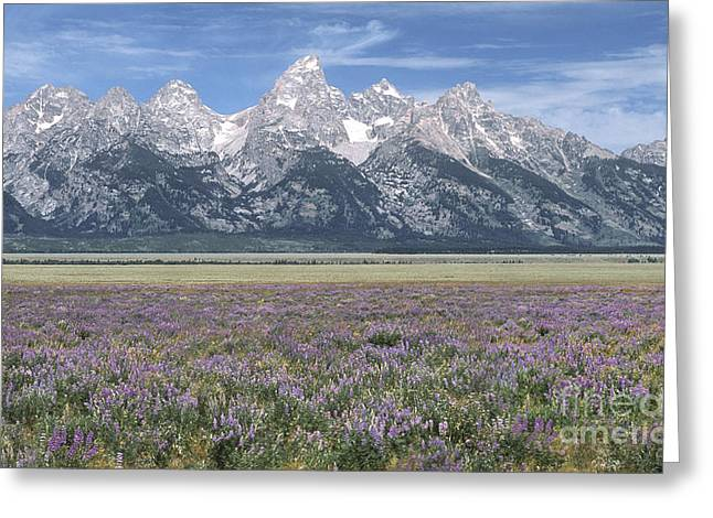 Tetons Greeting Cards - Lupine and Grand Tetons Greeting Card by Sandra Bronstein
