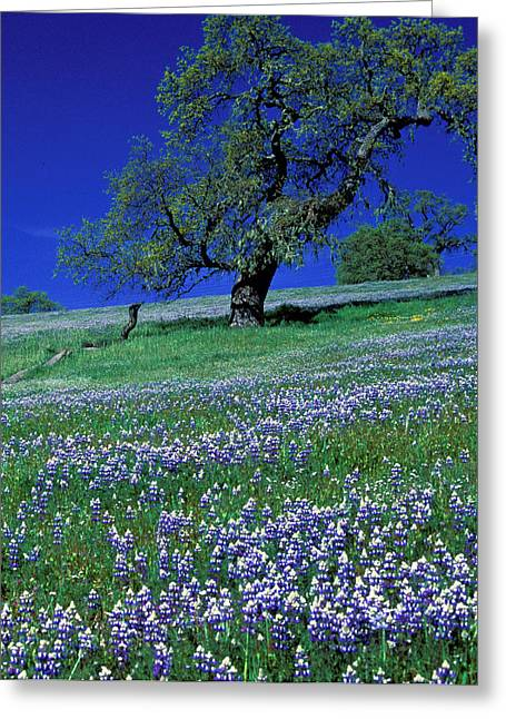 Featured Art Greeting Cards - Lupine and the Leaning Tree Greeting Card by Kathy Yates