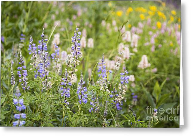 Bridger Teton Greeting Cards - Lupine and Wildflowers Greeting Card by Mike Cavaroc