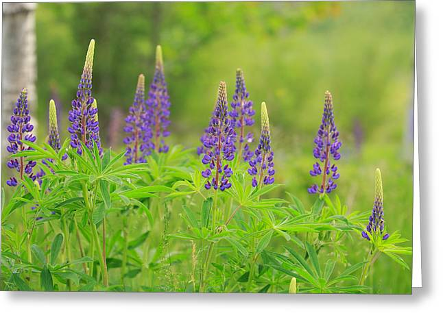 Cape Neddick Lighthouse Greeting Cards - Lupine At Acadia  Greeting Card by Emmanuel Panagiotakis