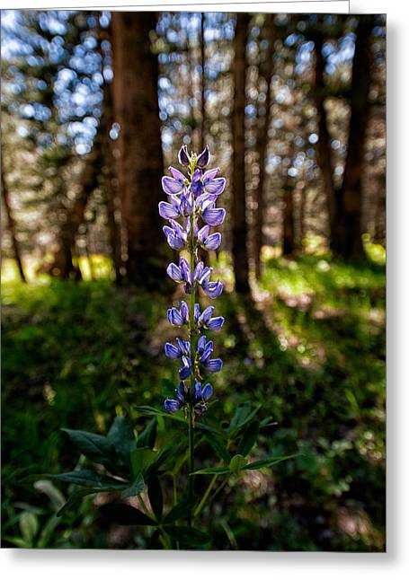 Light Purple Greeting Cards - Lupine Greeting Card by Cat Connor