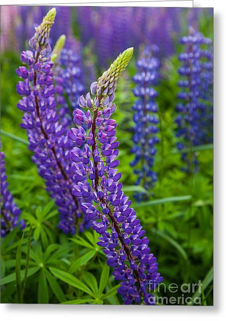 Spring In Maine Greeting Cards - Lupine Curve Greeting Card by Susan Cole Kelly