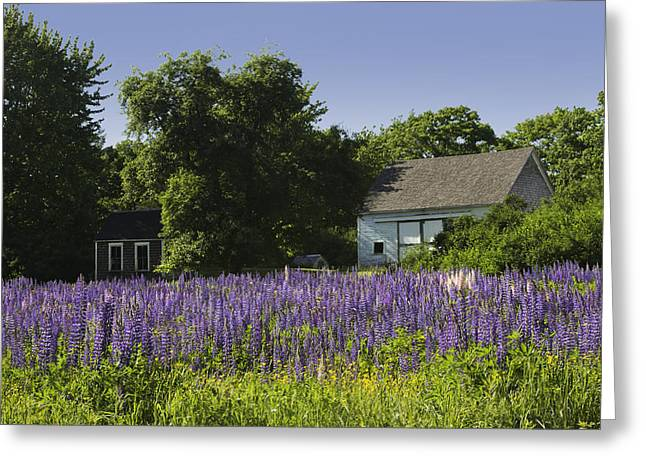 Shed Greeting Cards - Lupine Flowers Near Round Pond Maine Greeting Card by Keith Webber Jr