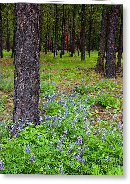 Lupine Greeting Cards - Lupine Forest Greeting Card by Mike  Dawson