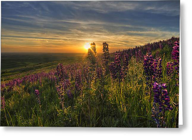 Lupine Sunset Greeting Card by Mark Kiver