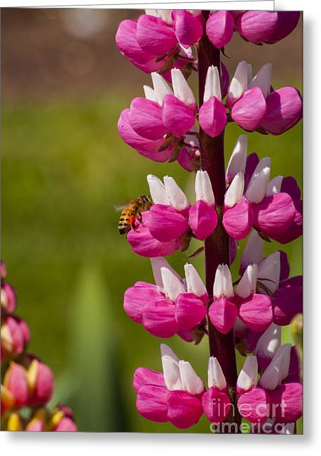 Iris Greeting Cards - Lupine with Bee Greeting Card by Mandy Judson