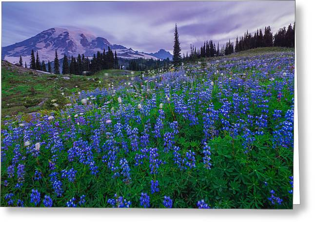 Mazama Greeting Cards - Lupines Dawn Greeting Card by Gene Garnace