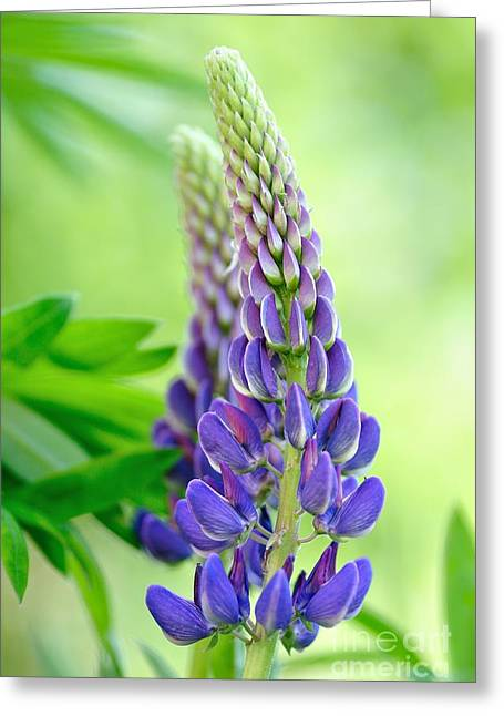 Lupin Greeting Cards - Lupinus polyphyllus - lupin flower Greeting Card by Martin Capek