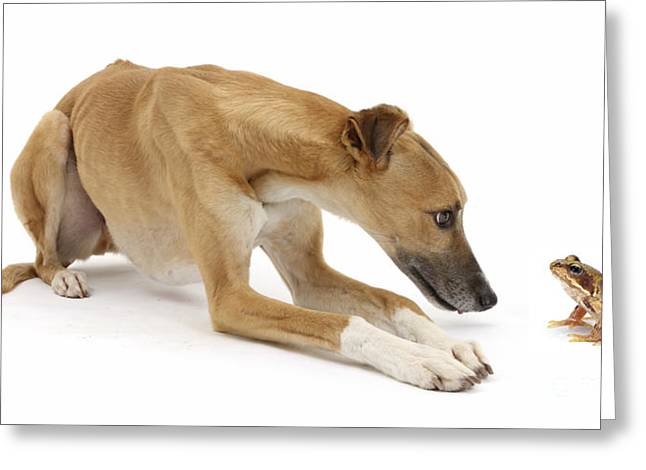 Lurcher Dog And Common Frog Greeting Card by Mark Taylor
