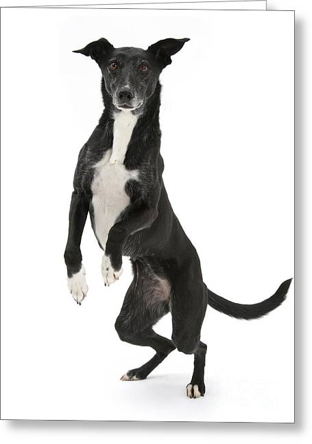 Lurcher Standing On Hind Legs Greeting Card by Mark Taylor
