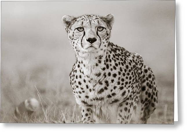 Tiere Greeting Cards - Lurking Cheetah Greeting Card by Regina Mueller