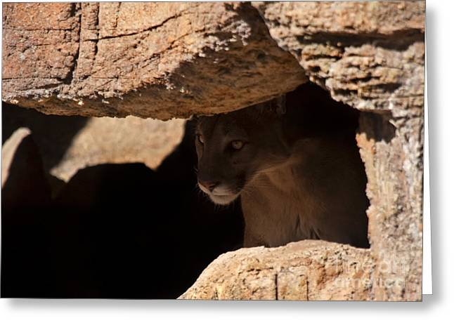 Cougar Greeting Cards - Lurking in the Shadows Greeting Card by Mike  Dawson