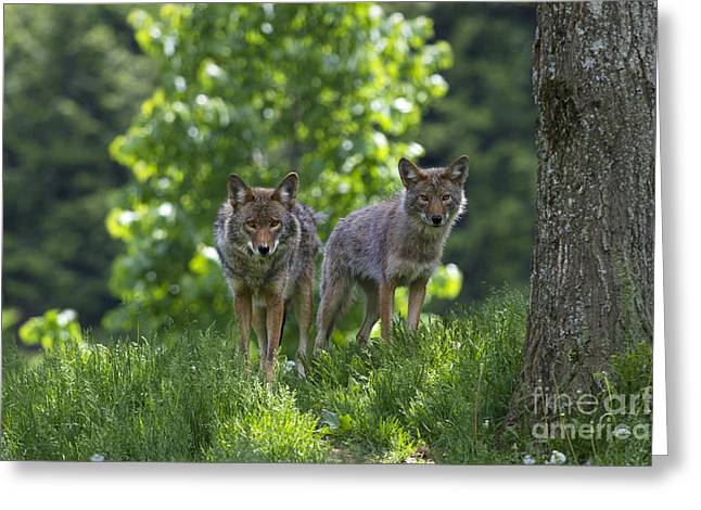 Montebello Greeting Cards - Lurking on the Trail... Greeting Card by Nina Stavlund