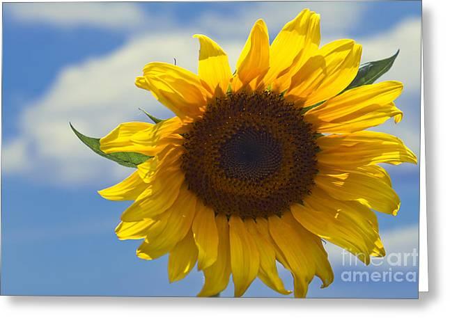 Lus Na Greine - Sunflower On Blue Sky Greeting Card by Sharon Mau