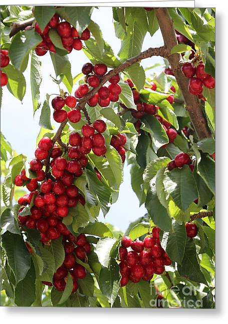 Grocery Store Greeting Cards - Luscious Cherries Greeting Card by Carol Groenen