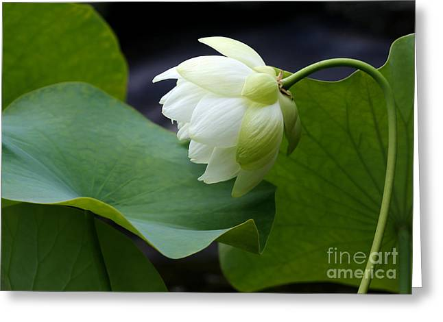 Lotus Leaves Greeting Cards - Luscious Lotus Greeting Card by Sabrina L Ryan