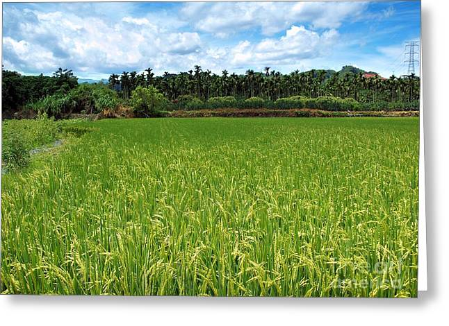 Lush Green Greeting Cards - Lush Green Rice Field Greeting Card by Yali Shi
