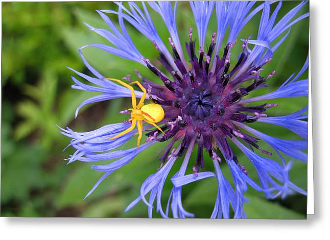 Centaurea Montana Greeting Cards - Lying in Wait Greeting Card by Laurie House