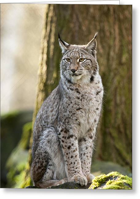 Bigcat Greeting Cards - Lynx Greeting Card by Andy-Kim Moeller