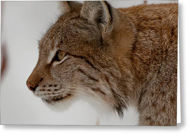 Bobcats Greeting Cards - Lynx Greeting Card by Liz Vinger