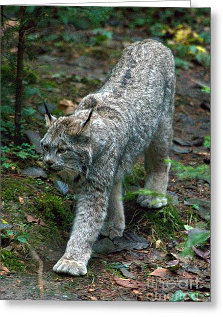 Lynx Sp Greeting Cards - Lynx Greeting Card by Mark Newman