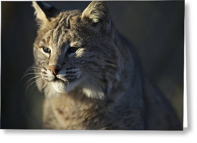Bobcats Greeting Cards - Lynx Portrait #6 Greeting Card by Matt Plyler