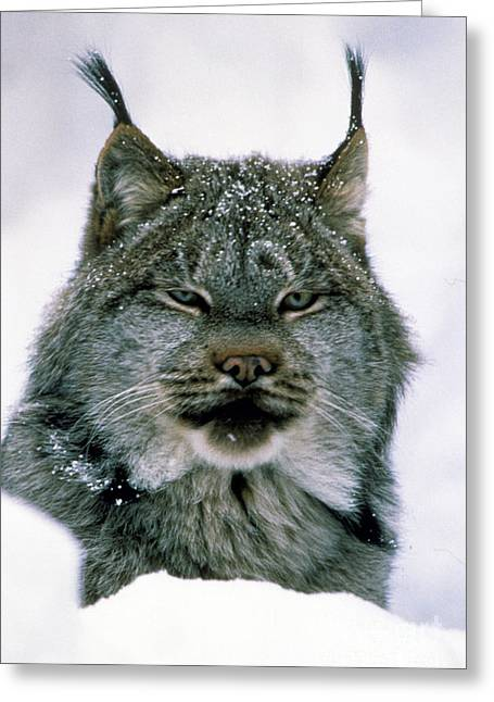 Lynx Greeting Card by Novastock