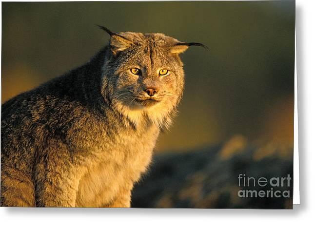 Felis Rufus Greeting Cards - Lynx Greeting Card by Ron Sanford