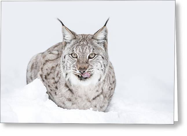 Lynx Wild Cat Greeting Card by Andy Astbury