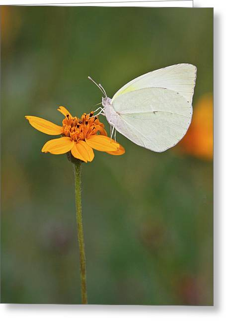 Lyside Sulphur (kricogonia Lyside Greeting Card by Larry Ditto