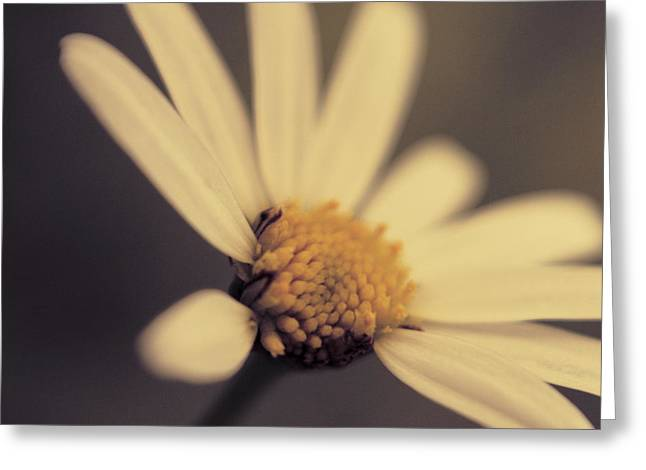Daisy Greeting Cards - Ma Marguerite - s05v3 Greeting Card by Variance Collections