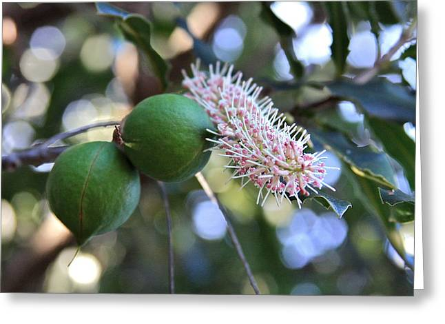 Proteaceae Greeting Cards - Macadamia Nuts and Flower Greeting Card by Karon Melillo DeVega