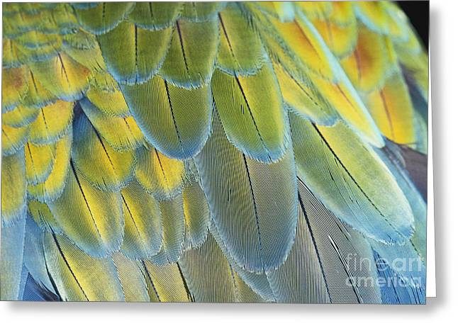 Blue And Yellow Macaw Greeting Cards - Macaw Feathers Greeting Card by George D Lepp