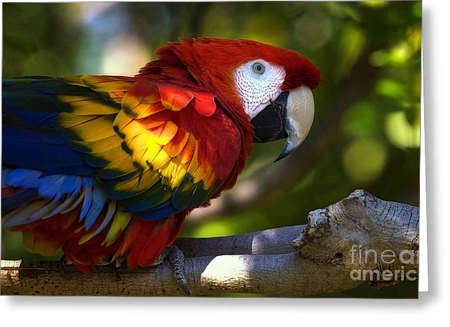 Macaw Art Print Greeting Cards - Macaw Greeting Card by Marvin Blaine