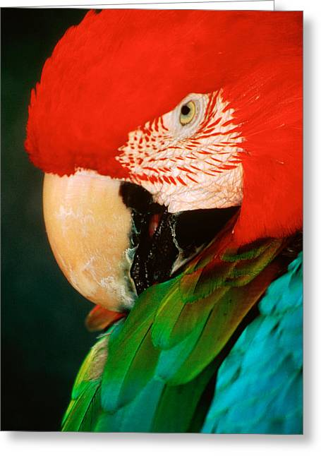 Macaw Parrot Greeting Cards - Macaw Portrait Greeting Card by Anonymous