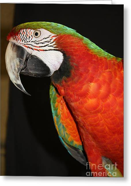 Green Feathers On Back Greeting Cards - Macaw Profile Greeting Card by John Telfer