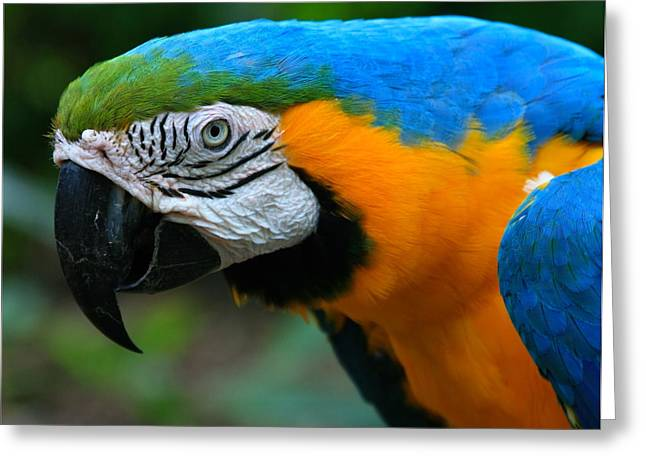 Macaw Parrot Greeting Cards - Macaw with sweet expression Greeting Card by Karon Melillo DeVega