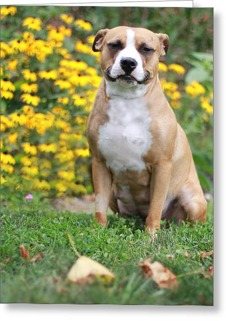 Apbt Greeting Cards - Mackensie Greeting Card by Shelley Neff