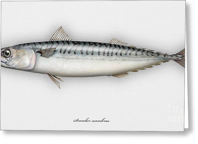 Fresh Food Drawings Greeting Cards - Mackerel Scomber scombrus  - Maquereau - Caballa - Sarda - Scombro - Makrilli - Seafood Art Greeting Card by Urft Valley Art