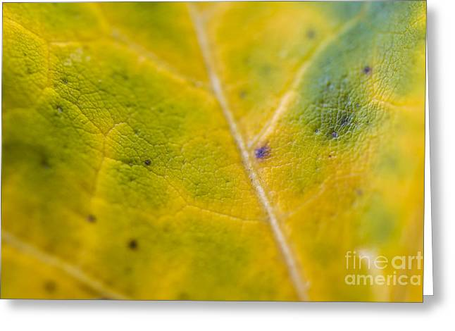 Life-size Greeting Cards - Macro Autumn Leaf Greeting Card by David Haskett