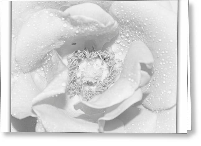 Close Focus Floral Greeting Cards - Macro image of a rose Greeting Card by Stefano Senise