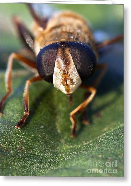 Sweat Greeting Cards - Macro of a Hoverflys Large Eyes Greeting Card by Brandon Alms