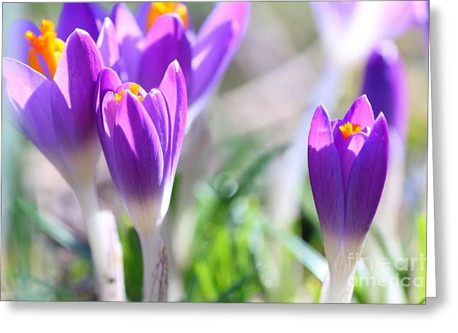 Emergence Greeting Cards - Macro of group of closed Crocus Greeting Card by Gregory DUBUS